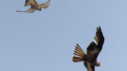The red kite turning over to face the female peregrine flying above it