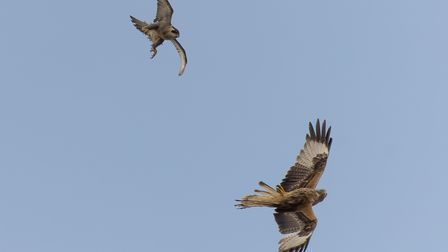 The female peregrine (above) and red kite in battle