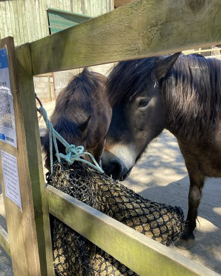 Two ponies eating hay out of a net