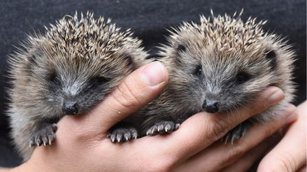 Two of the four baby hedgehogs at the Suffolk Hedgehog Hospital, disturbed from a nest with their mo