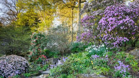 Rhododendrons, primulas, narcissi and hellebores flowering at RHS Garden Harlow Carr, Harrogate, North Yorkshire.