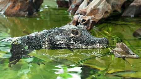 A dwarf crocodile in a pool at ZSL Whipsnade Zoo