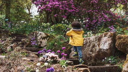 A child climbing the steps through the Woodland Terraces on a spring day at RHS Garden Harlow Carr, Harrogate, Yorkshire.