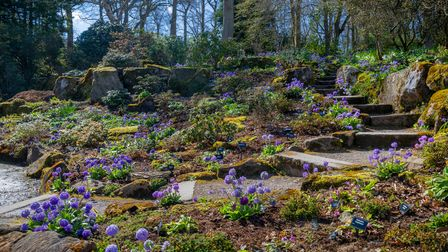 Primulas at The Peat Terraces at RHS Garden Harlow Carr, Harrogate, Yorkshire, England.