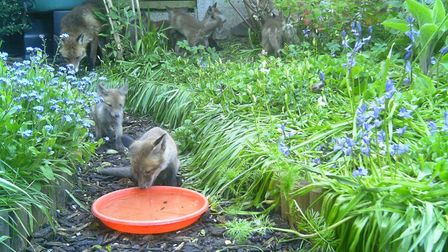 The mother fox has seven cubs who come to feed here