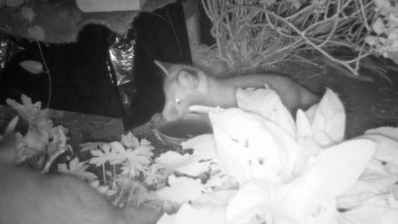 A fox cub caught on the trail camera at night time