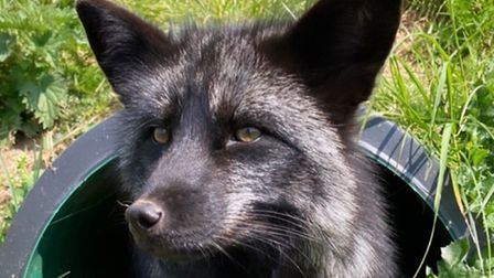 Luna the fox who has been rescued by Animal Farm Adventure Park