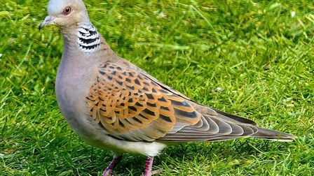 Gerry Brown says this turtle dove returns to his back garden every year.