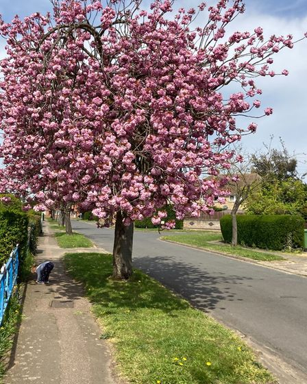 Angie Borowiec took this image of cherry blossom in Huntingdon.