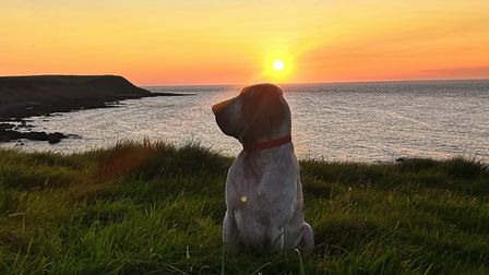 A Bracco Italiano in front of a beach sunset
