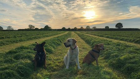 Three dogs sitting in field in front of sunset