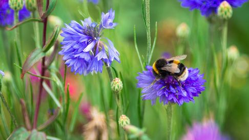 Close up color image of a bumble bee pollinating purple wildflowers in a fresh lush meadow.