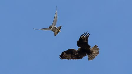 A peregrine chases a buzzard away from its nest at Norwich Cathedral.