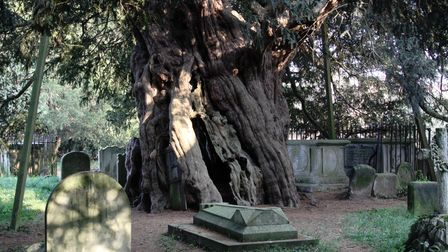 The ancient and seemingly eternal Crowhurst Yew tree in the churchyard ofSt George's Church in Crowhurst, Surrey.
