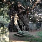 The ancient and seemingly eternal Crowhurst Yew tree in the churchyard of St George's Church in Crowhurst, Surrey.