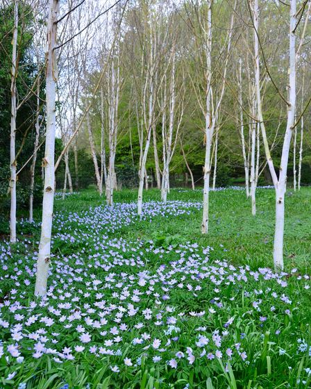 Brian Parker's image showing a 'river of Anemone' at Anglesey Abbey.