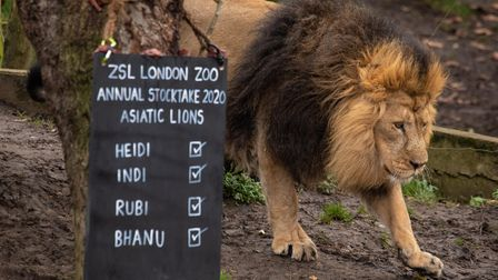 Asiatic lion Bhanu walks past a blackboard during the 2020stocktake at ZSL London Zoo