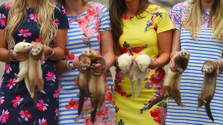 Pictured: Showgoers get to grips with the Ferrets showcased on the 'Pugs & Drummers' stand at The Ga