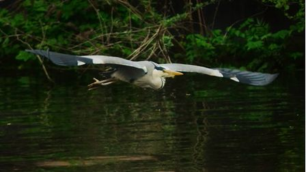 One of Martin Clarke's stunning wildlife images of a heron which was taken on Friday, May 14