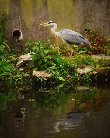 A heron pictured in Norwich on Friday, May 15