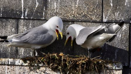 Kittiwakes put down nesting material after netting is removed from the BT building in Lowestoft.