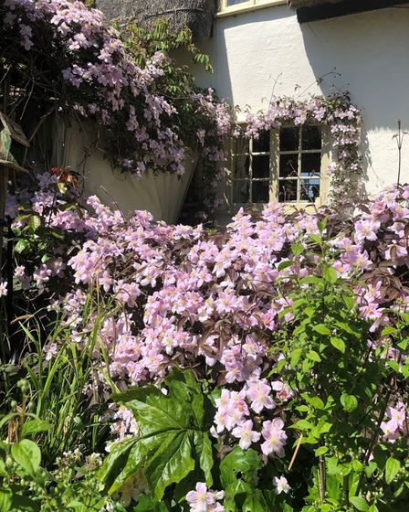 Clematis at Appletree Cottage, Sheepcote Green near Clavering