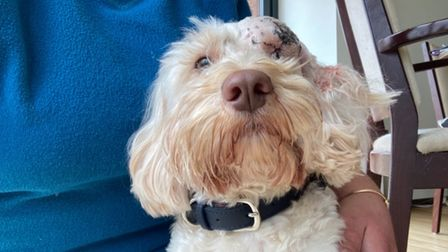 Waffle recovering at home after being shot in the face in Emneth