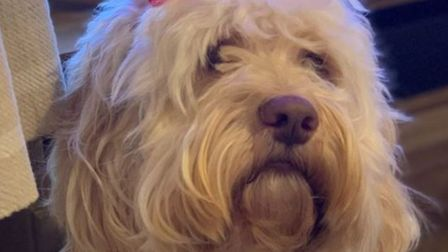 Waffle the dog has died after he was shot in the face in Emneth earlier this month.
