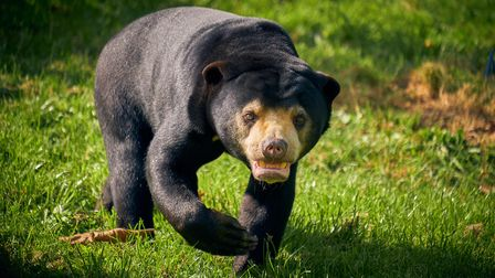 A sun bear. You will be able to see them atParadise Wildlife Park later this year.