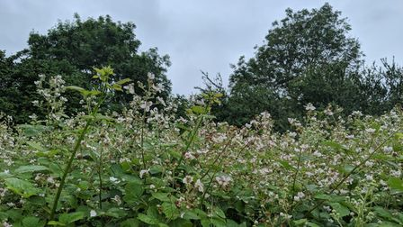 Bramble flowers are as ubiquitous with the British countryside as the blackberries that form from them in the autumn