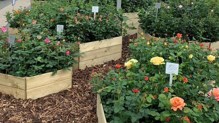 Hitchin's Harkness Roses are debutingnew varieties at their virtual RHS Chelsea standthis year