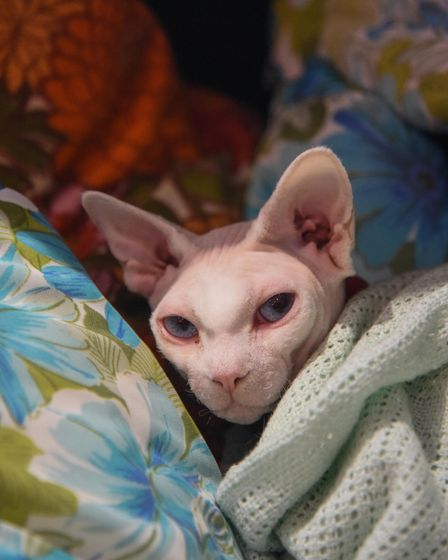 Maverick the sphynx cat at Darling Darlings Cat Cafe on Marine Parade in Great Yarmouth. Picture: Da