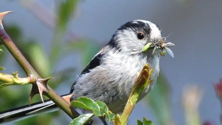 Long Tailed Tit captured at Paxton Pits by Jackie Hill.