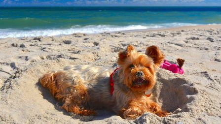 A fluffy terrier lies on the sand, the waves are gently breaking in the background on a sunny day.