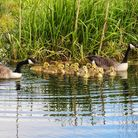 Cliff Watkinson took this image of the duck family at the river near Hartford.