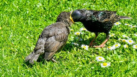 Gerry Brown sent us his image of starlings in his garden.