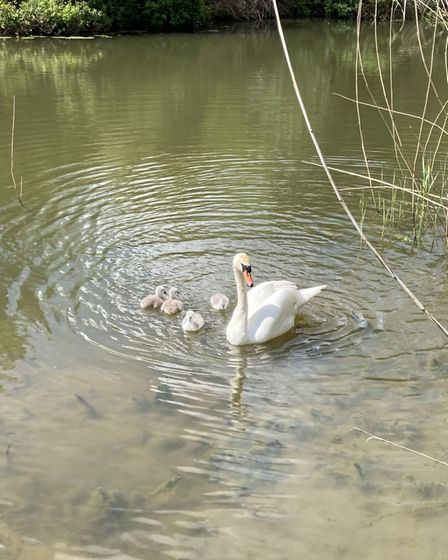 Dorothy Smith sent us her mum and baby swans taken at Houghton Mill.