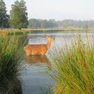 A stag in the mere at Tatton Park