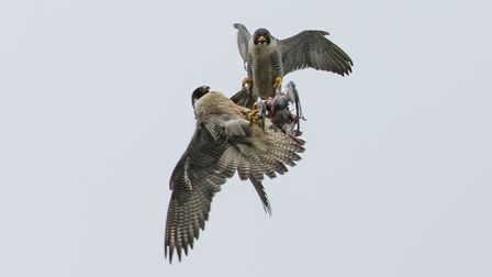 The male peregrine (above) passes dinner on to the female, who goes on to take it to their chicks at Norwich Cathedral.