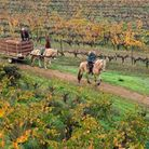 Working horses in the Odfjell vineyards.