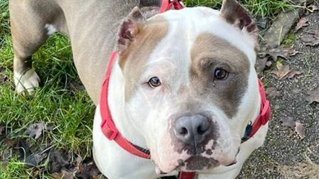 Four-year-old Bully XL Mrs D, who is believed to have been used for fighting in the past, is looking for a new home.