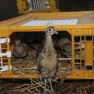 The density of common pheasants released within a European site must be no more than 700 birds per h