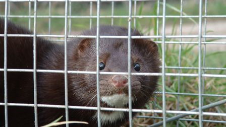 Mink will decimate a population of their favourite food source and then move on to something else