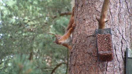 If you have red squirrels on your patch, live trapping is preferable for controlling the greys