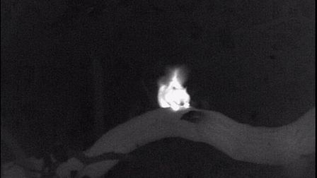 The grey squirrel is a determined feeder. Using thermal imagers can be helpful in managing them