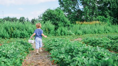 A child holding a small basket runs away from the camera down a path between rows of crops