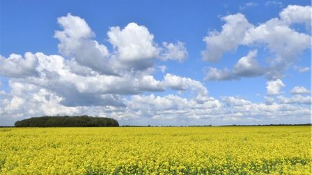 Graham Davey sent us this photograph of rape seed fields in Great Stukeley.