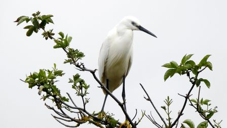 This image of an Egret in St Neots was sent in by Donna Porter Smith.