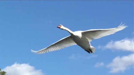 Pennie Pryor took this image of a swan on the river.