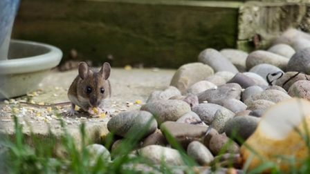 Harry Lucas took this image of a field mouse eating bird food in his garden.